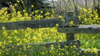 wood fence yellow flowers Heather Hudson photos