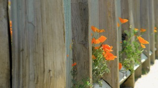 Santa Cruz Poppies Heather Hudson photos