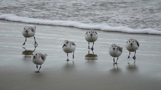 Snowy Plovers Heather Hudson photos